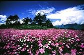 我愛的圖片:梨山之美-波斯菊.jpg