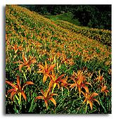我愛的圖片:滿山的金針花.jpg