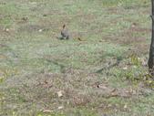 岍岍三歲三個月(3Y3M)下集:DSC05956--植物園裡的戴勝.JPG