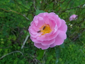 瑪麗玫瑰mary rose家族_20131108:DSC04012.JPG