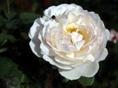 瑪麗玫瑰mary rose家族_20131108:DSC04491.JPG
