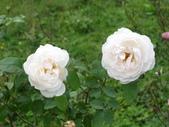 瑪麗玫瑰mary rose家族_20131108:DSC03858.JPG