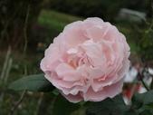 瑪麗玫瑰mary rose家族_20131108:DSC03848.JPG