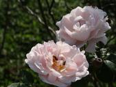 瑪麗玫瑰mary rose家族_20131108:DSC04425.JPG