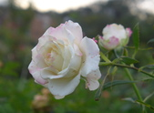 花園剪影_20190416-19:P2230674.jpg