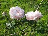 瑪麗玫瑰mary rose家族_20131108:DSC04449.JPG