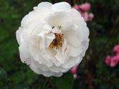 瑪麗玫瑰mary rose家族_20131108:DSC03974.JPG