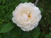 瑪麗玫瑰mary rose家族_20131108:DSC03854.JPG