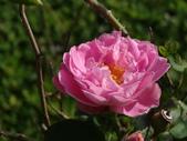 瑪麗玫瑰mary rose家族_20131108:DSC04588.JPG