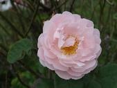 瑪麗玫瑰mary rose家族_20131108:DSC03845.JPG