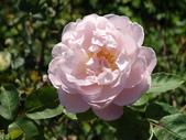 瑪麗玫瑰mary rose家族_20131108:DSC04304.JPG