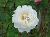 瑪麗玫瑰mary rose家族_20131108:DSC03973.JPG