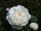 瑪麗玫瑰mary rose家族_20131108:DSC04493.JPG