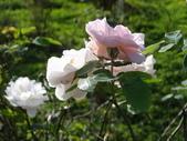 瑪麗玫瑰mary rose家族_20131108:DSC04429.JPG