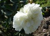 白色梅安White Meilland_20140102-03:DSC02201.JPG