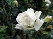 白色梅安White Meilland_20140102-03:DSC02370.JPG