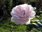 瑪麗玫瑰mary rose家族_20131108:DSC04427.JPG