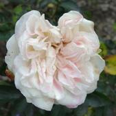 白色梅安White Meilland_20140102-03:DSC02788.JPG