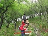 2012古坑櫻花正開,,:IMG_1806.JPG