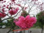 2012古坑櫻花正開,,:IMG_1822.JPG