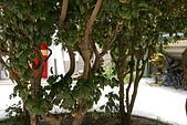 聖恩堂的庭院:庭院中的桂花樹005.JPG