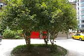 聖恩堂的庭院:庭院中的桂花樹001.JPG