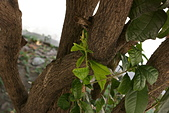 聖恩堂的庭院:在桂花樹下018.JPG