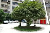 聖恩堂的庭院:庭院中的桂花樹003.JPG