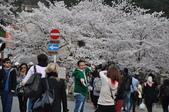 關西賞櫻 哲學之道 - 遮天蔽日的櫻花: