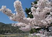 日本旅遊選集:京都 嵐山 櫻花 & 渡月橋