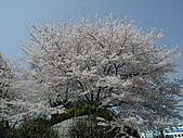 日本東京賞櫻:P4090019.JPG
