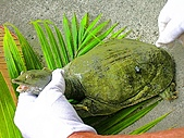 2010.09.08宜蘭礁溪:活鱉.jpg