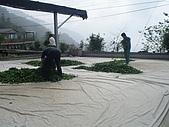 981107 冬茶採收:IMGP0047.JPG