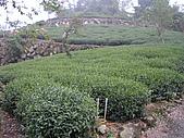 981107 冬茶採收:IMGP0030.JPG