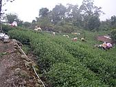 981107 冬茶採收:IMGP0033.JPG