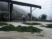981107 冬茶採收:IMGP0048.JPG