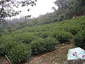 981107 冬茶採收:IMGP0034.JPG