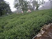 981107 冬茶採收:IMGP0031.JPG