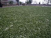 981107 冬茶採收:IMGP0052.JPG