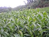 981107 冬茶採收:IMGP0041.JPG