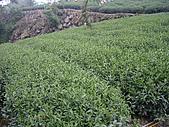 981107 冬茶採收:IMGP0029.JPG