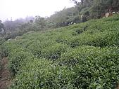 981107 冬茶採收:IMGP0042.JPG
