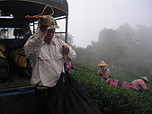 981107 冬茶採收:IMGP0045.JPG