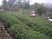 981107 冬茶採收:IMGP0032.JPG