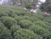 981107 冬茶採收:IMGP0036.JPG