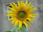 990213-21 快樂過新年:太陽花