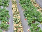 採草莓:1232993792.jpg