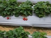採草莓:1232993793.jpg