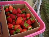 採草莓:1232993795.jpg