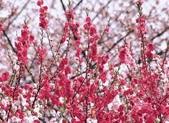 2007.03.09《2007年生肖桃花的色彩》:E20070309-1